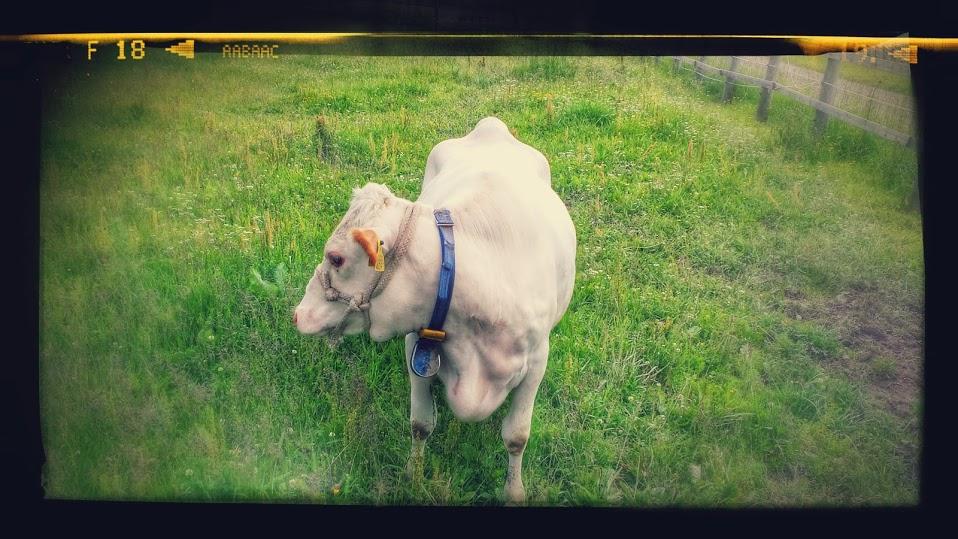 Lehmä halusi tehdä tuttavuutta